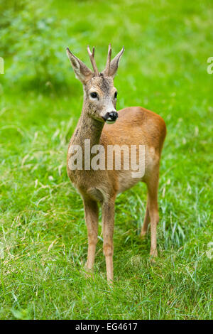 Roe deer (Capreolus capreolus), buck standing in a meadow, captive, Thuringia, Germany - Stock Photo