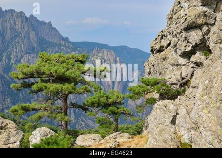 Corsican Pine (Pinus nigra subsp. laricio) at the Col de Bavella, Bavella Massif, Corse-du-Sud, Corsica, France - Stock Photo