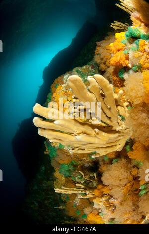 Reef wall sponge bryozoan growth Poor Knights Islands New Zealand January - Stock Photo