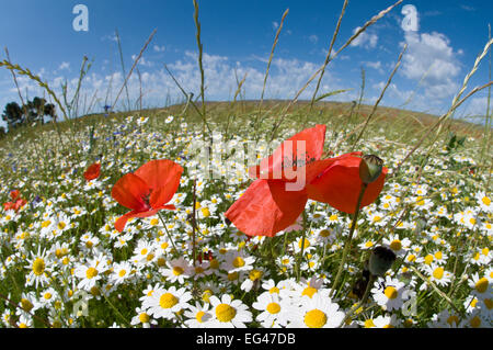 Mayweed (Anthemis sp) Poppies (Papaver rhoeas) in flower near Orvieto Umbria Italy June - Stock Photo