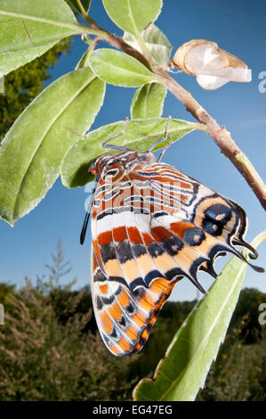 Newly emerged adult Two-tailed Pasha (Charaxes jasius) Podere Montecucco. Orvieto Umbria Italy August - Stock Photo