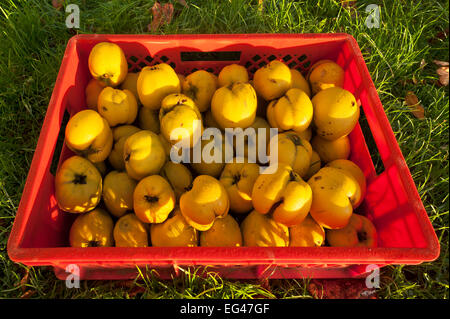 Freshly picked quinces with dew drops in a crate in the grass - Stock Photo