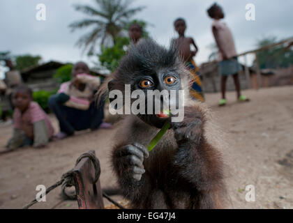 Grey-cheeked Mangabey (Lophocebus albigena) juvenile village children looking on. Captive kept as pet until large - Stock Photo