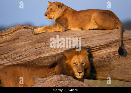 Lioness (Panthera leo) resting on fallen tree courting male. Masai Mara National Reserve Kenya July - Stock Photo