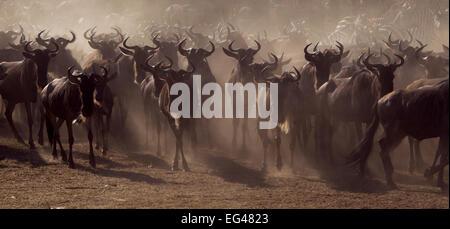 Eastern White-bearded Wildebeest (Connochaetes taurinus) herd on the move Masai Mara National Reserve Kenya July - Stock Photo