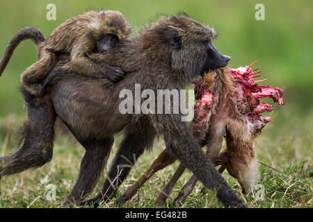 Olive baboon (Papio cynocephalus anubis) female infant on back carrying away gazelle carcass having taken it male. - Stock Photo