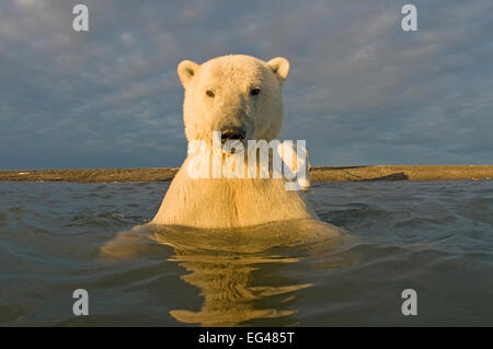 Polar bear (Ursus maritimus) curious young 2-year-old in water off barrier island its mother on the beach Bernard - Stock Photo