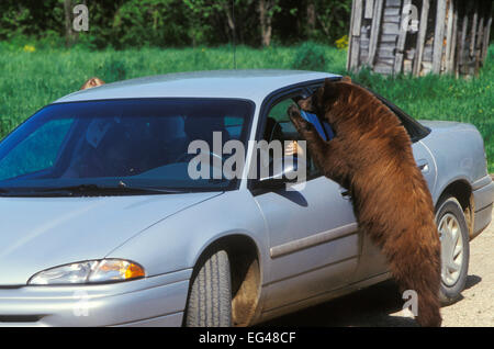 Juvenile American black bear (Ursus americanus) brown phase looking food in car Denver Colorado USA July. - Stock Photo