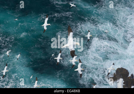 Northern gannets (Morus bassanus) in flight in Force 8 gales above raging seas. Shetland Islands Scotland UK September. - Stock Photo