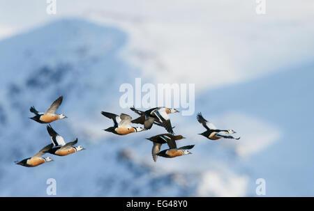 Flock Steller's eiders (Polysticta stelleri) in flight Batsfjord Norway March. - Stock Photo