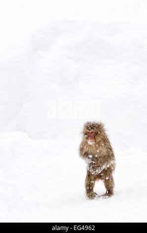 Japanese Macaque (Macaca fuscata) juvenile standing up feet pointed inward Jigokudani Japan January - Stock Photo