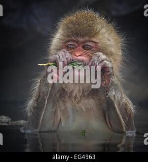 Japanese Macaque (Macaca fuscata) biting needles tree branch while sitting in hot spring in Jigokudani Japan January - Stock Photo