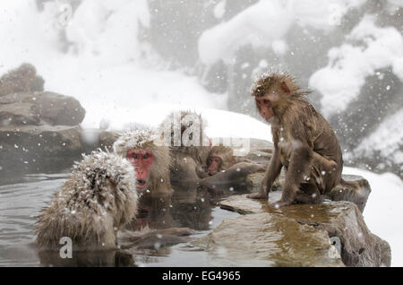 Japanese Macaque (Macaca fuscata) females gather at one end the hot springs Jigokudani Japan February - Stock Photo