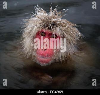 Japanese Macaque (Macaca fuscata) icy strands fur on its head Jigokudani Japan February - Stock Photo