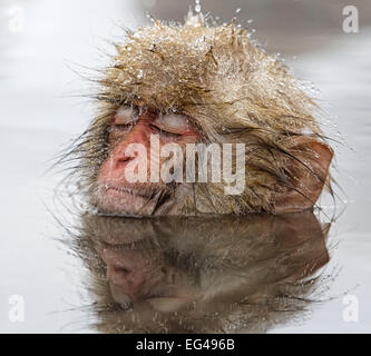 Japanese Macaque (Macaca fuscata) young one appearing quite relaxed in thermal pool even falling asleep in Jigokudani - Stock Photo