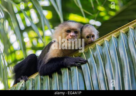 White-faced Capuchin (Cebus capucinus imitator) mother baby. Osa Peninsula Costa Rica - Stock Photo