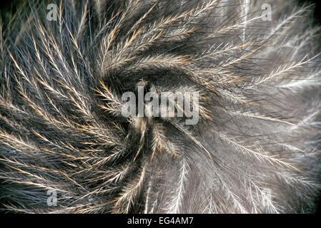 Okarito Brown Kiwi (Apteryx rowi) feather detail resembling mammalian hair. Okarito Forest Westland South Island - Stock Photo