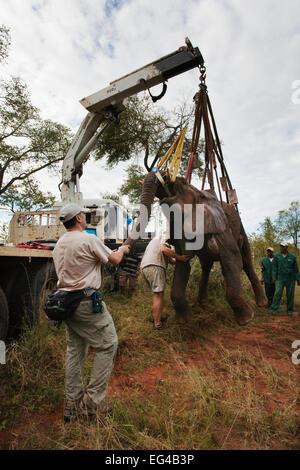 Wild elephant bull (Loxodonta africana) hoisted into position by crane vasectomy operation in bush by the Elephant - Stock Photo