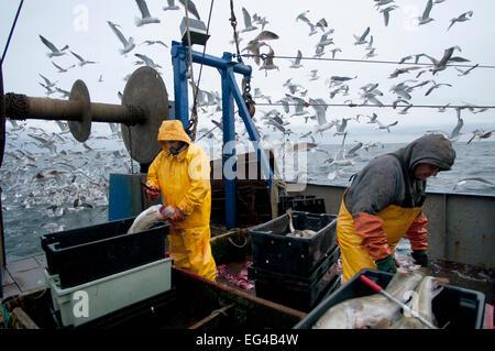 Fishermen clean Atlantic Cod (Gadus morhua) on deck fishing trawler herring gulls (Larus argentatus) flocking in - Stock Photo