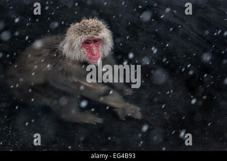 Japanese Macaque (Macaca fuscata) adult in the hot springs Jigokudani in the snow Japan. February - Stock Photo