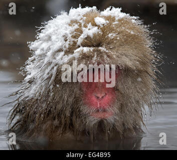 Japanese Macaque (Macaca fuscata) adult wet snowy head in the hot springs Jigokudani Japan. - Stock Photo