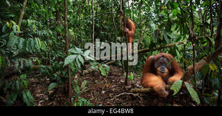 Sumatran orangutan (Pongo abelii) mature male 'Halik' aged 26 years sitting in forest clearing watched tree by female - Stock Photo