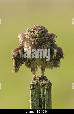 Little owl (Athene noctua) perched on fence post ruffling its feathers Castro Verde Alentejo Portugal April. - Stock Photo