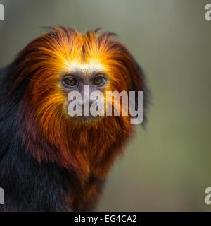 Golden-headed lion tamarin (Leontopithecus chrysomelas) captive portrait Apenheul Park Netherlands. - Stock Photo