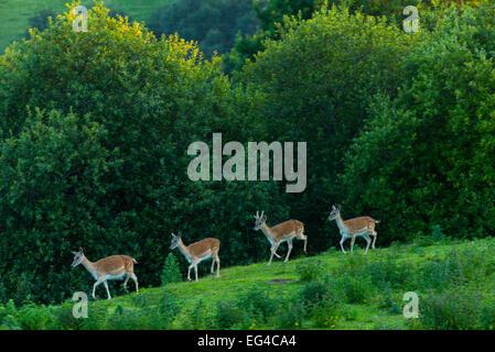 Fallow deer (Dama dama) stags captive Cabarceno Park Cantabria Spain June. - Stock Photo