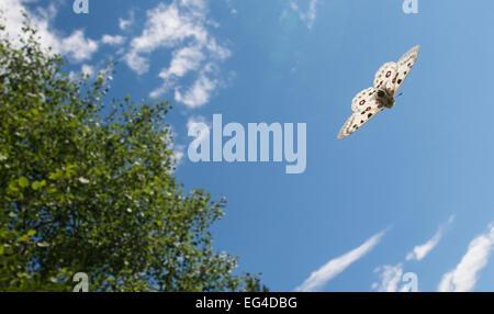 Mountain Apollo (Parnassius apollo) in flight southwest Finland February July. - Stock Photo