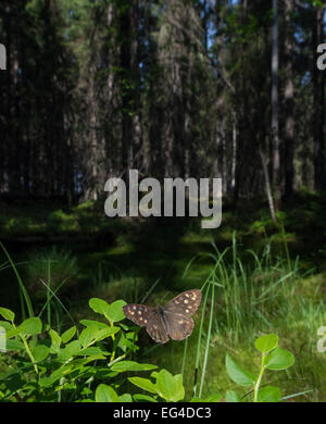 Speckled Wood (Pararge aegeria) male in habitat Finland April. - Stock Photo