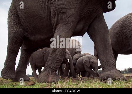 African elephant (Loxodonta africana) herd at waterhole calves seen between adults legs. Masai Mara National Reserve - Stock Photo