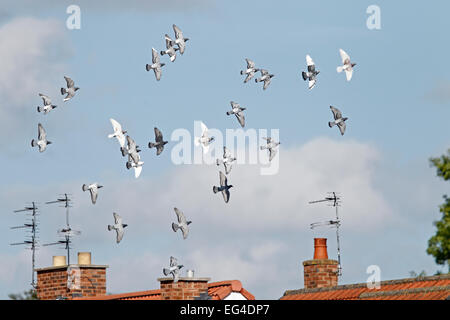 Domestic pigeons (Columba livia) flock in flight over houses Cheshire UK June. - Stock Photo