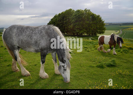 Two Irish Gypsy cob mares (Equus caballus) one dapple grey - grazing one piebald - walking on rough pastureland - Stock Photo