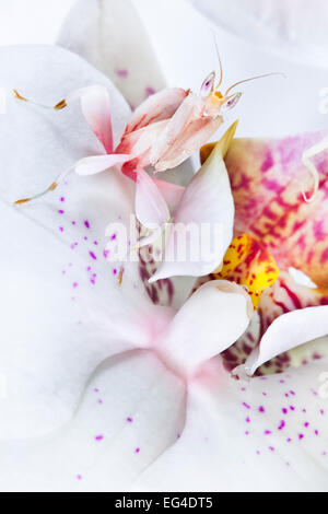 Malaysian Orchid Mantis (Hymenopus coronatus) white colour morph camouflaged on an orchid. Captive. Originating - Stock Photo