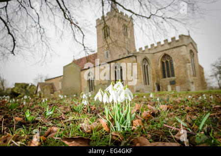 South Cambridgeshire, UK. 16th February, 2015. Weather: Snowdrops (Galanthus nivalis) in the churchyard of St Mary - Stock Photo