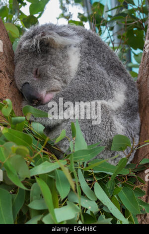A koala sleeping in a tree. - Stock Photo