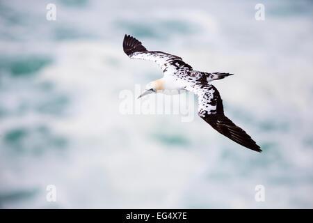 Gannet (Sula bassana) in flight ; Orkney Scotland UK - Stock Photo