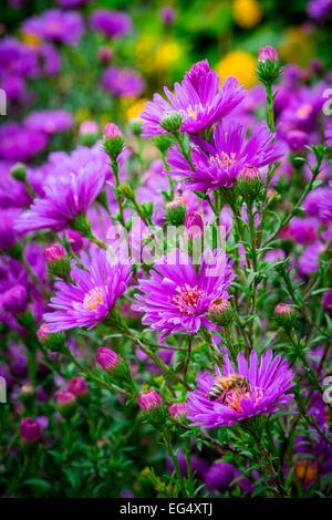 Bee on purple Michaelmas Daisy flower - Stock Photo