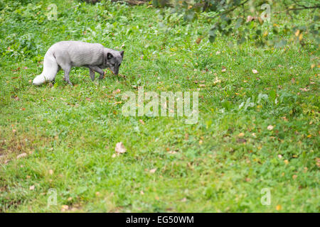 Arctic fox in summer on a green meadow - Stock Photo