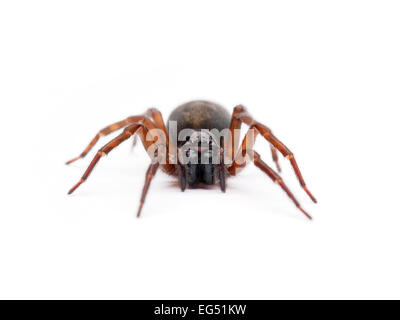 A woodlouse spider (dysdera crocata) - Stock Photo
