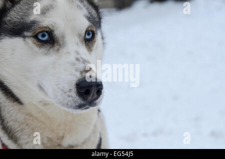 Cute grey-white female siberian husky dog portrait, blue eyes. Image taken at a sleddog race in Romania at Baile - Stock Photo