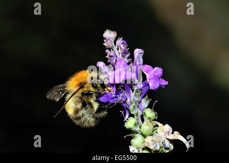 common carder bumble bee bombus pascuorum pollinating flower - Stock Photo