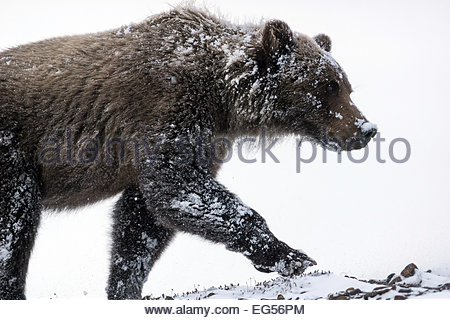 Grizzly bear (ursus arctos horribilis) facing the blizzard in Denali national Park - Alaska - Stock Photo