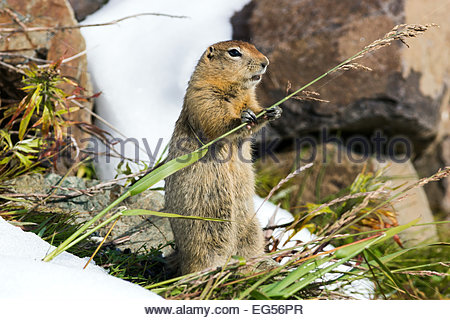 Arctic ground squirrel (Spermophilus parryii) in Denali national Park - Alaska - Stock Photo