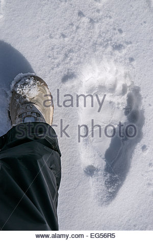 Denali national Park - Alaska : grizzly bear foot print in snow - Stock Photo