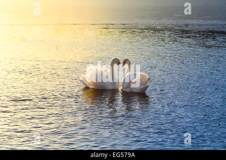 A picture of two swans forming a heart during sundown - Stock Photo