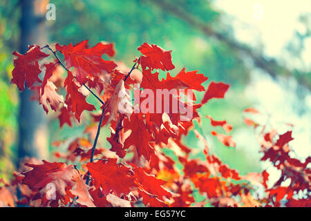 red leaves on oak branch - Stock Photo
