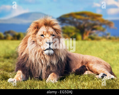Big lion lying on savannah grass. Landscape with characteristic trees on the plain and hills in the background - Stock Photo