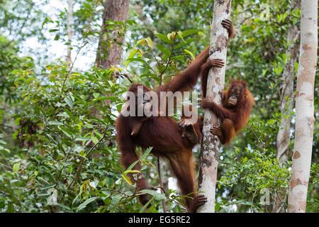 Orangutan mother and baby in Borneo - Stock Photo